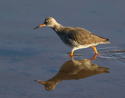 Redshank by NurturingNaturesGift