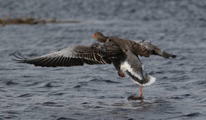 Greylag Goose by NurturingNaturesGift