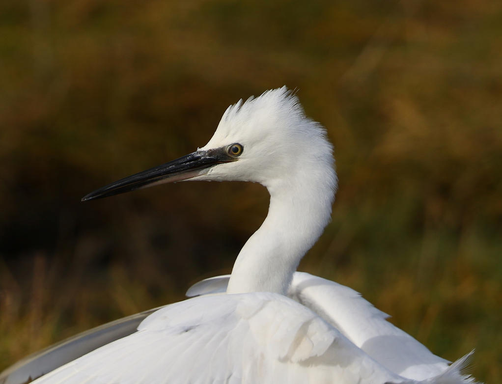 Little Egret by NurturingNaturesGift