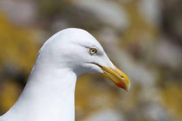 Herring Gull by NurturingNaturesGift