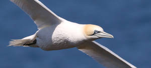 Northern Gannet by NurturingNaturesGift