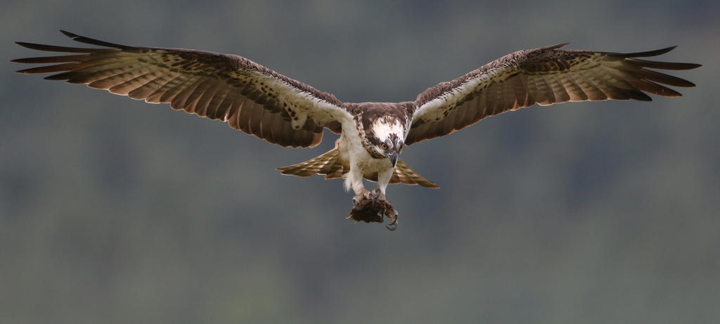 Female osprey by NurturingNaturesGift