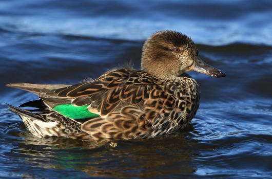 Mrs Teal Duck