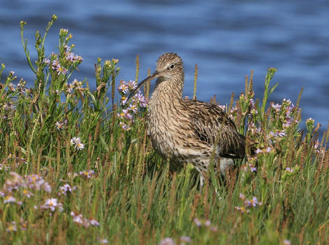 Curlew in wild meadow