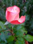 Pink Rose by Imtolazytothinkofone