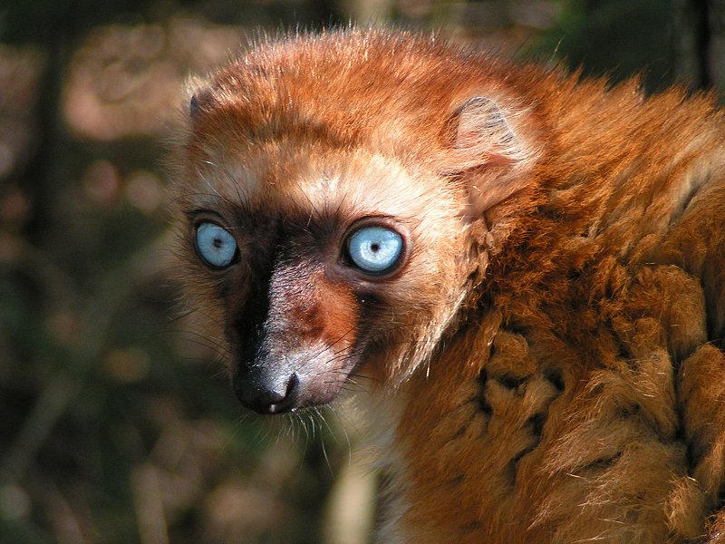 Blue-Eyed Lemur by Henrieke