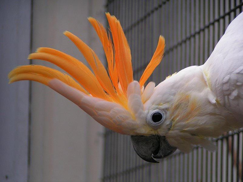 Citron cockatoo - photo#14