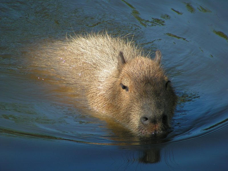 Capybara swimming by Henrieke on DeviantArt
