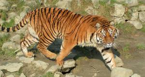 Tiger focus