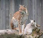 Daddy lynx