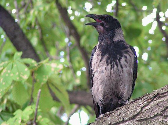 Hooded Crow by Henrieke