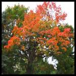maple tree by Kalinka36