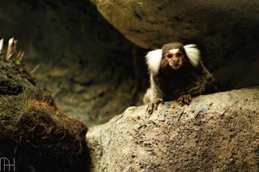 The common marmoset...
