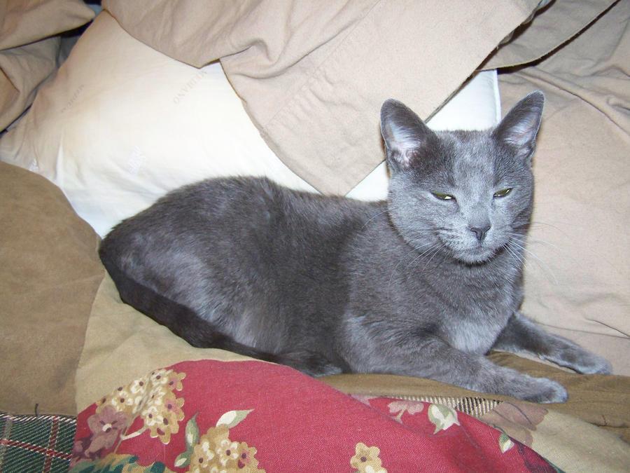 Shelby kitty by AthenaIce
