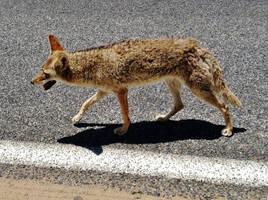 Death Valley Coyote by AthenaIce