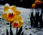 flower with snow on it by Slinky-2012