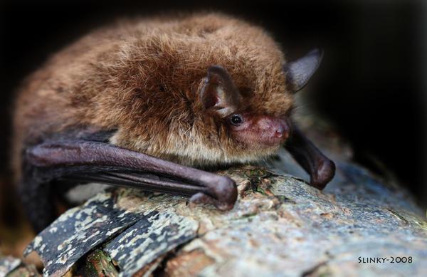 Daubenton's Bat by Slinky-2012