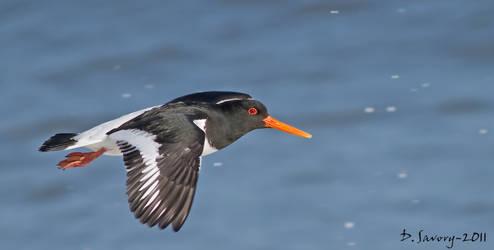 Oystercatcher flight
