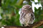 grumpy little owl close up