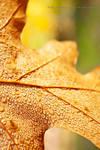 Autum Leaf in Dew Drops