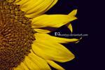 Sunflower by wenty91