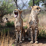 Singing cheetahs