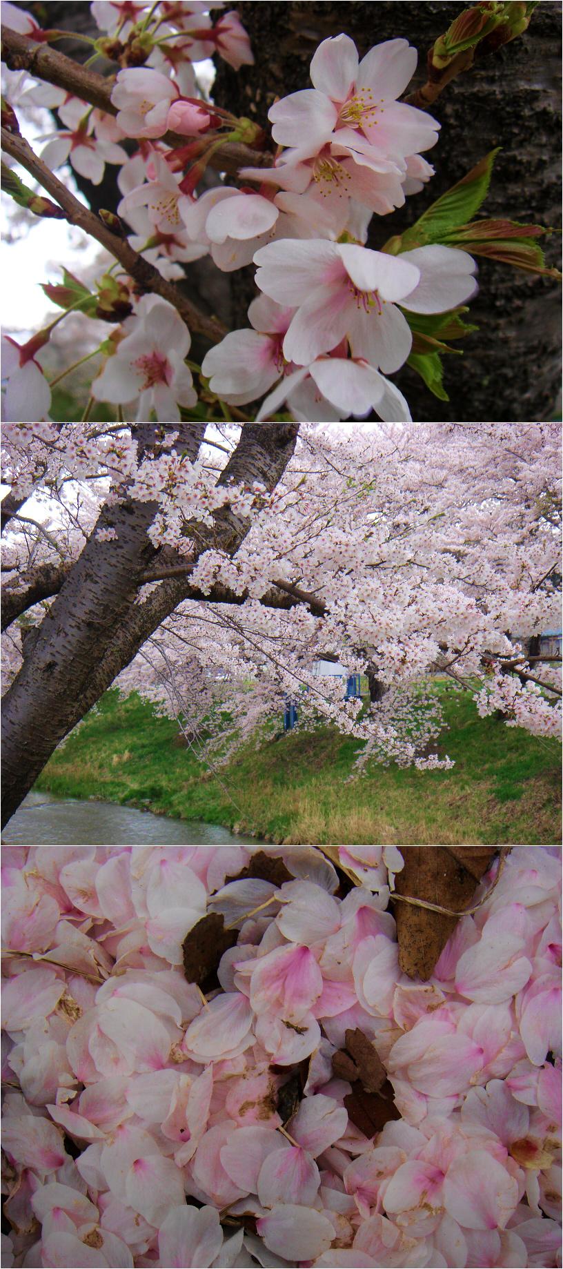 Sakura Sakura by Teruchan