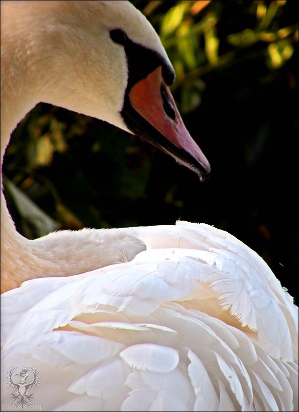 Mute Swan III by LightConcorde
