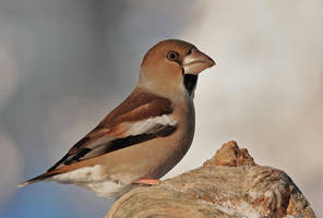 Hawfinch by svein2012