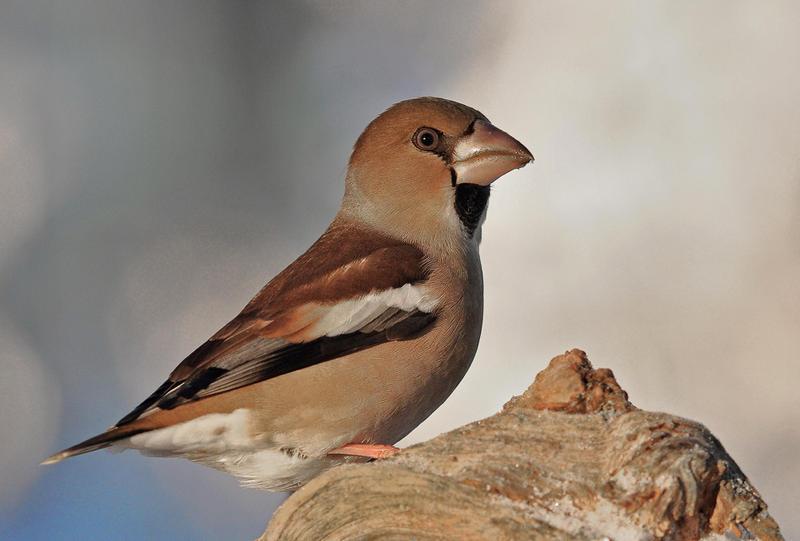 Hawfinch by svein2012 on deviantART