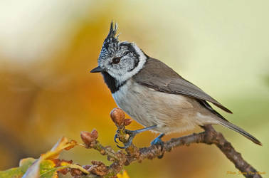 Crested Tit by svein2012