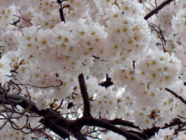 Japanese Sakura by PeacefulSeraph