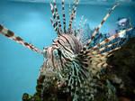 Lionfish Stock 2