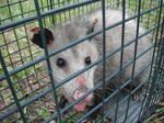 Half Blind Possum