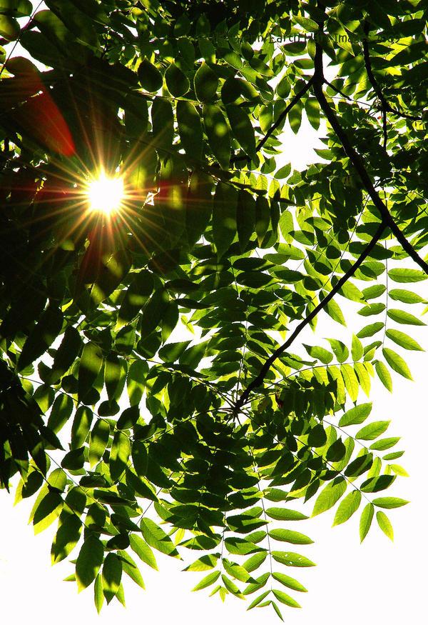 Black Walnut Sunlight by EarthHart