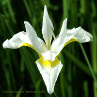 White Iris Squared by Earth-Hart
