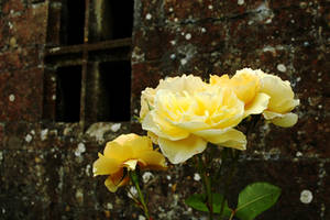 Stonewall Roses by Earth-Hart