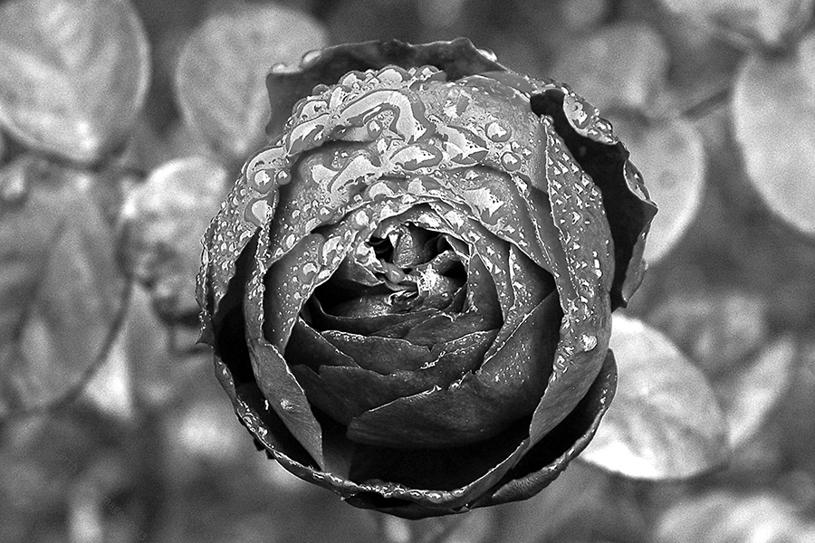 Rosa Mono by EarthHart