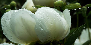 Peony, After a Shower