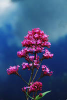 Red Valerian, Against  a Cloudy Sky by Earth-Hart