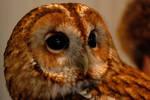 Star, the Tawny Owl