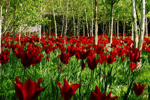 Tulip Mass, with Silver Birch by Earth-Hart