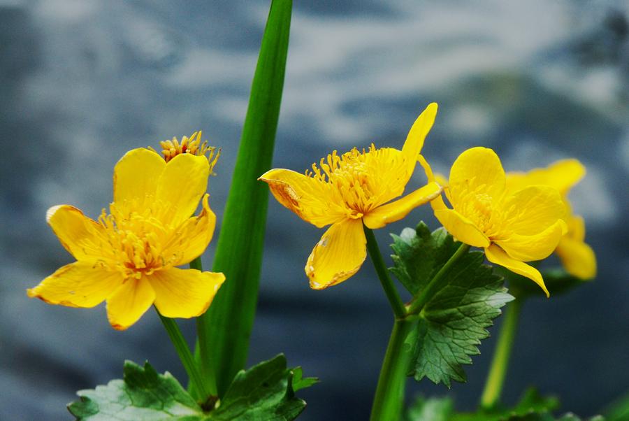 Marigold of the Marsh by EarthHart on DeviantArt