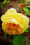 The Bud 'n' Rose by Earth-Hart