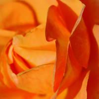 Questus Rosa Coniunctus by Earth-Hart
