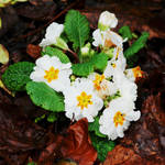 Primroses for Xmas by Earth-Hart