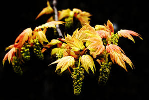 April Acer by Earth-Hart