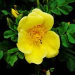 Yellow by Earth-Hart