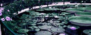 Lilies by pietruszkowa