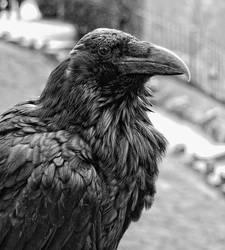 Raven by tjblackwell